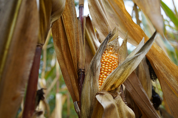 Oxitec Receives Landmark Biosafety Approval for New Fall Armyworm Control Solution